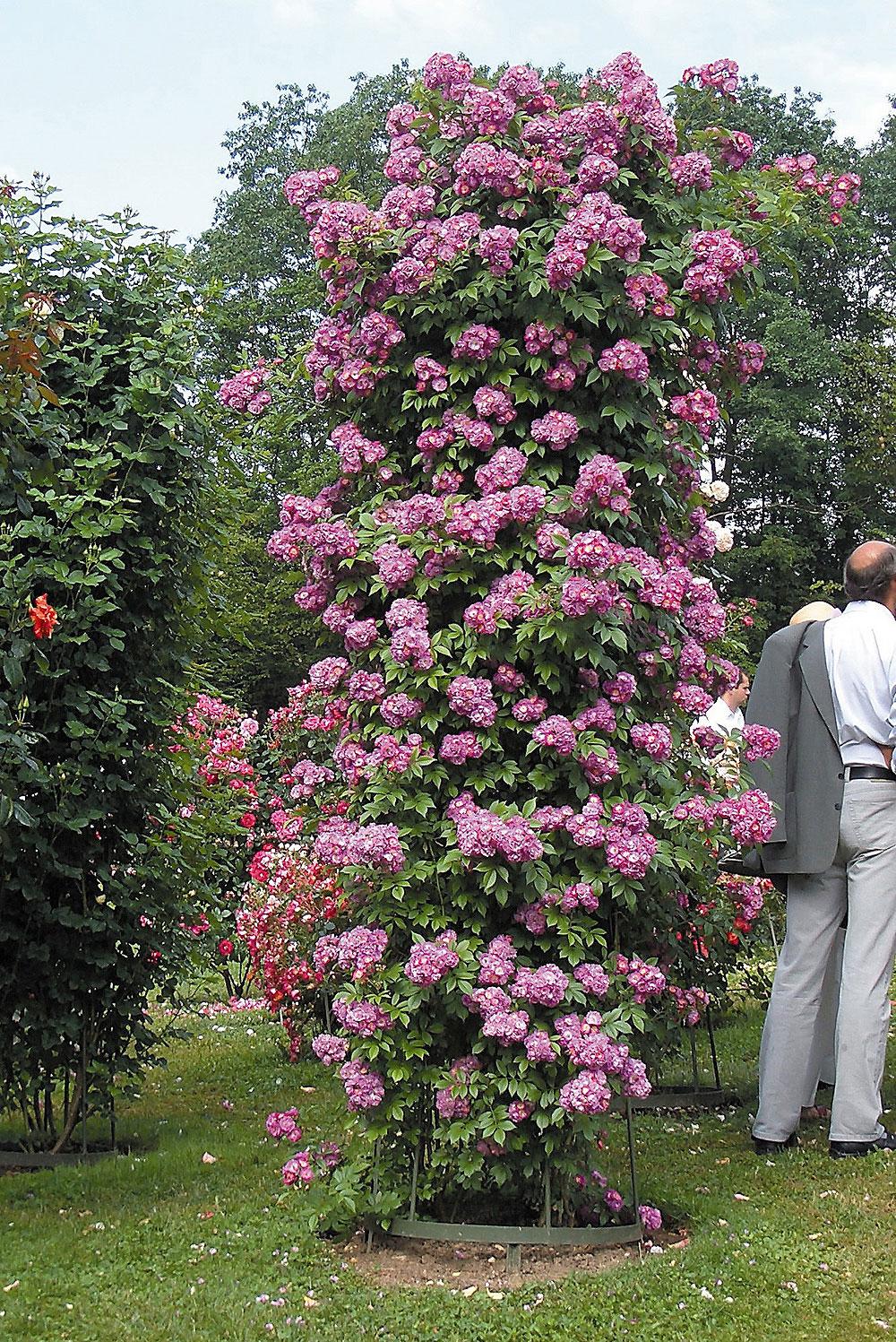 Ремонтантная плетистая роза 2